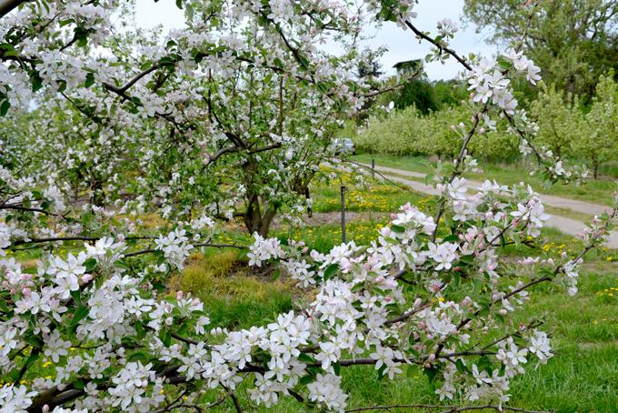 Plantage zur Obstblüte