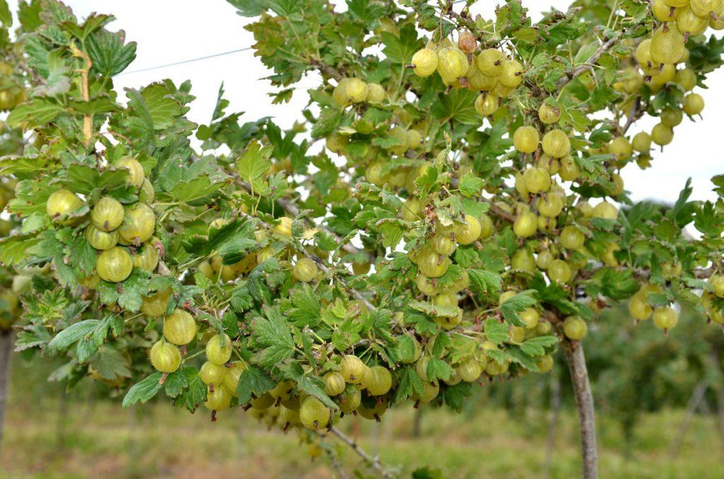 Gelbe Stachelbeeren